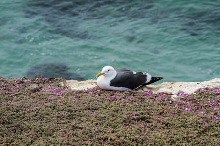 webbed: Seagull resting at a coastal site in La Jolla, California