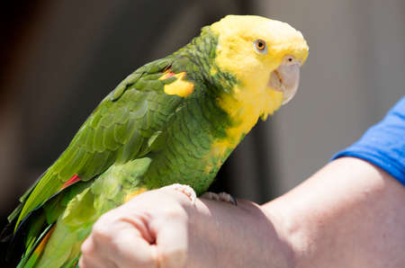 talons: Green and yellow parrots at a community bird organization in Encinitas California