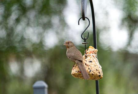 bird feeder: A Towhee perched on a bird feeder eating seeds