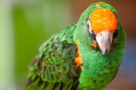psittacidae: A green and orange parrot perched at a bird gathering at a local plaza in Encinitas, California Stock Photo