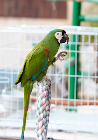 chatty: Green and red parrot perched on a cage at a local plaza in Encinitas, California