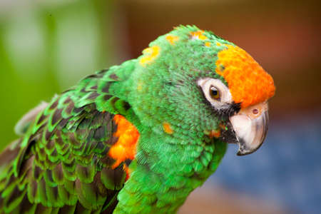talons: A green and orange parrot perched at a bird gathering at a local plaza in Encinitas, California Stock Photo