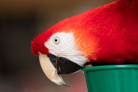 chatty: Scarlet Macaw with red, blue and yellow coloring perched at a local plaza in Encinitas California