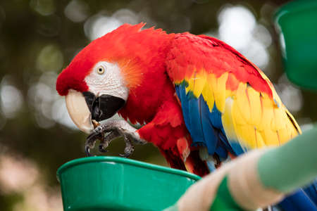 psittacidae: Scarlet Macaw with red, blue and yellow coloring perched at a local plaza in Encinitas California