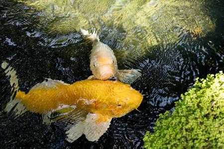perky: Perky Koi swimming up to see if there is any food in a shady pond. Stock Photo
