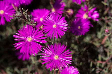 hardy: Beautiful fuschia Hardy Ice Plant flowers blooming in summer at Encinitas Beach, California