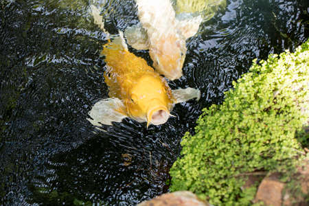 nishikigoi: Perky Koi swimming up to see if there is any food in a shady pond. Stock Photo