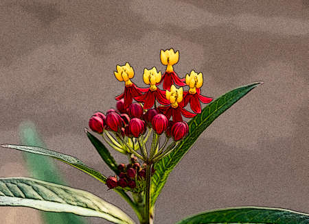 Red, yellow and orange Butterfly Weed will attract Monarchs and other butterlies. Stock Photo