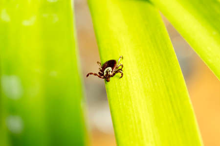 dog tick: Dog tick crawling on a agapantha leaf