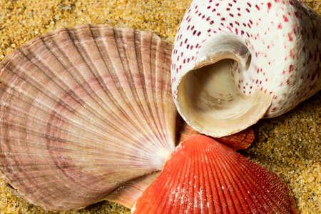shell: Lovely sea shells on sand in summer