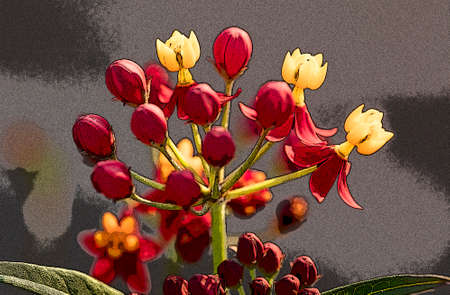 Red, yellow and orange Butterfly Weed will attract Monarchs and other butterlies. Stok Fotoğraf