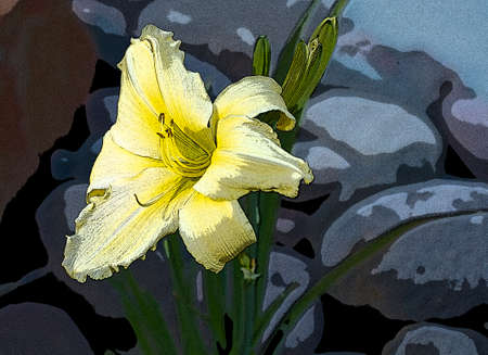 lilium: Blooming yellow Lilly Flower in a local garden Stock Photo