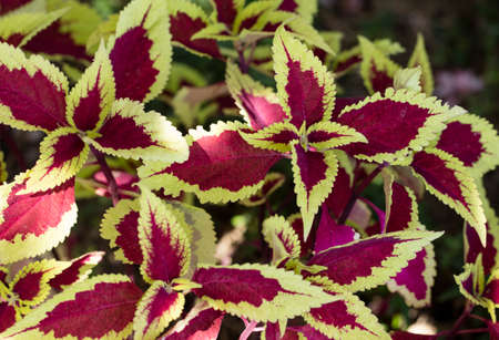 purples: Colorful green and purple Coleus plant in the Tranquility Gardens in Encinitas, California