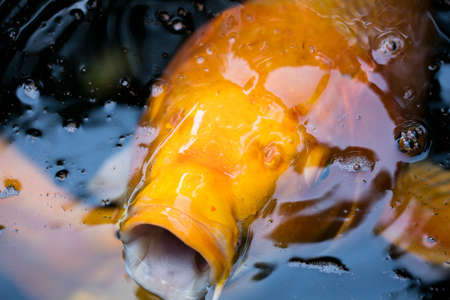 tranquility: Koi fish swimming in a pond at the Tranquility Gardens in Encinitas, California Stock Photo