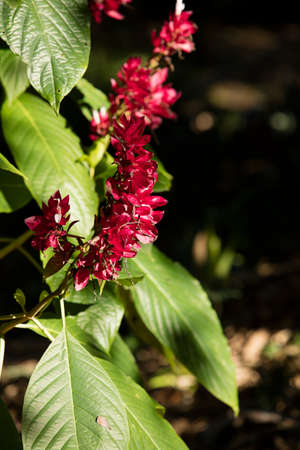 acanthaceae: Lovely Brazilian REd Cloak, Acanthaceae at the San Diego Botanical Gardens in California Stock Photo