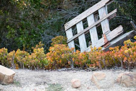 feuille arbre: Belle plante Jade croissante en face d'une porte en bois us� et cass�