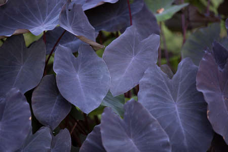 Colocasia Esculenta Plant, also called Black Magic Elephant Ear located at the Botanical Gardens in San Diego, California Stok Fotoğraf