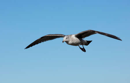 wing span: Seagull flying over the coastline of La Jolla California
