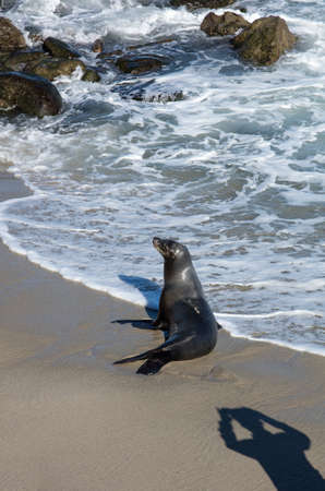 myst: Seal at the coastline at La Jolla California Stock Photo
