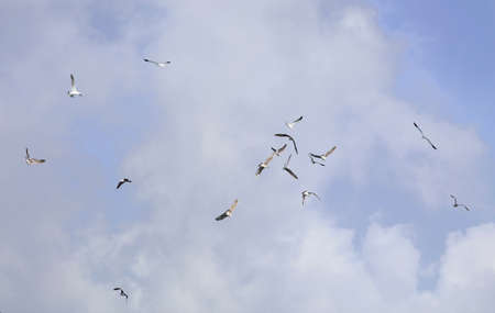 wing span: Sea Gulls flying in a scattered group over a park Stock Photo