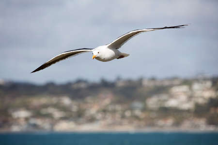 wing span: Sea Gull flying overhead at a local beach in San Diego California