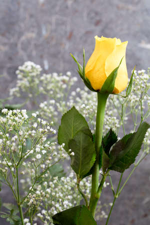 babys: Yellow Rose and Babys Breath on a gray background Stock Photo
