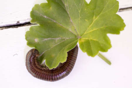 Insect Called Millipede with many double jointed legs in a curled position Imagens