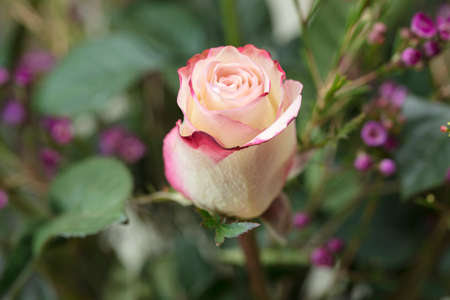 rosoideae: Bouquet of white and pink Roses and Waxflower for a holiday gift