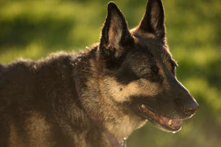 German Shepherd dog outside in a grassy area during the day