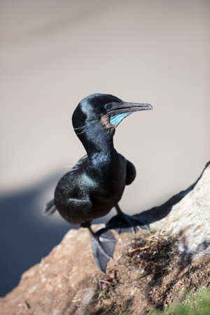Black Cormorant Coastal Bird Perched  On A Cliff Edge In La Jolla, California