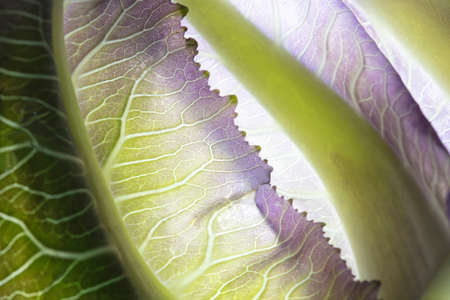 Close up of translucent green and purple baby cabbage leaf with reflecting light