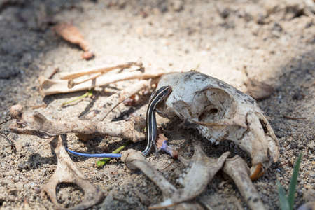 Blue-tailed Skink crawling on a rat skull surrounded by bones in a desert setting.