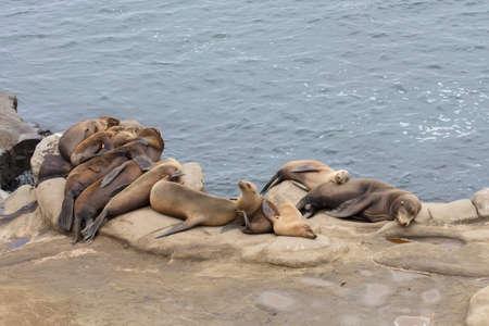 Seals resting on a cliff at La Jolla, California