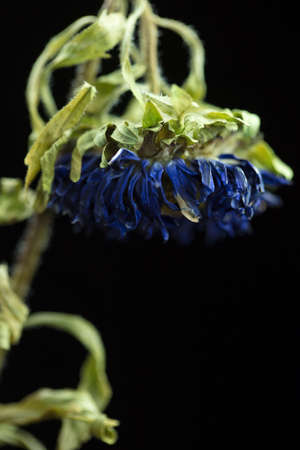 Wilted dying blue Chrysanthemum on a dark background