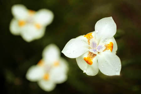 White Dietes Flower with orange and purple markings delicately blooming