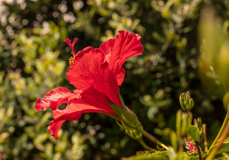 Bright red Hisbiscus flower blooming on a spring day with green plants in the background Zdjęcie Seryjne
