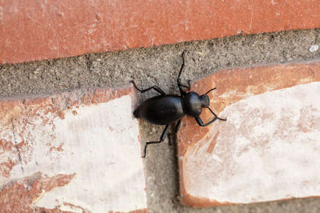 Black Pnacate Beetle, also known as a stinkbug, crawling on a brick wall outdoors