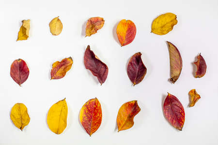 Grouping and isolated dried Crepe Myrtle leaves in reds, yellows, and oranges fallen from the tree in autumn