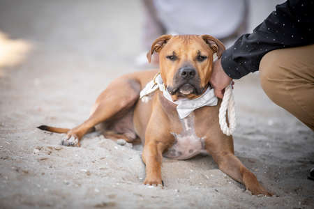 Brown Pit Bull terrier with a white bow held on a leash by hisi owner