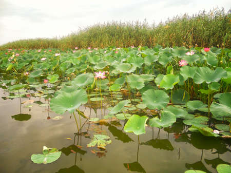 Pink water lily flowering pond