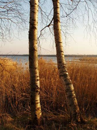 jurmala: Birch trees by the lake Sloka. Jurmala, Latvia