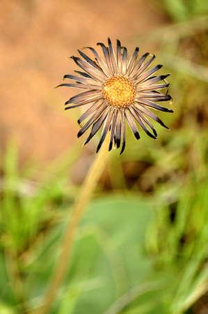 no surrender: Rejuvenation of a scorned flower