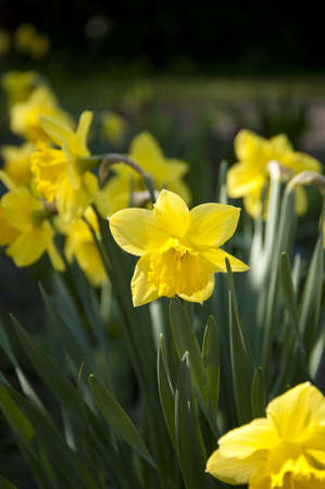 yellow daffodils blossoming in a garden Stock Photo - 6684860