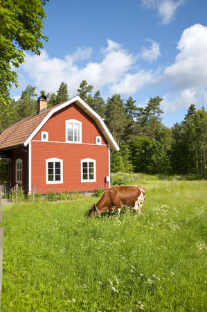 old red wooden farmhouse in Sweden,  meadows and cow