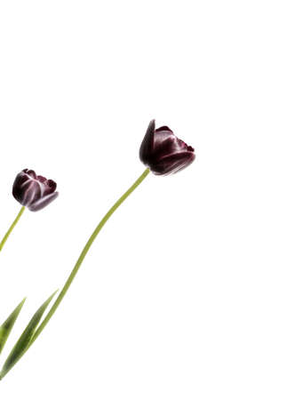 Black Tulips, isolated on white background, space for text