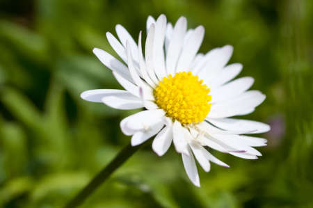 Daisy flower on a meadow in spring, Mecklenburg, Germany.. Macro photo