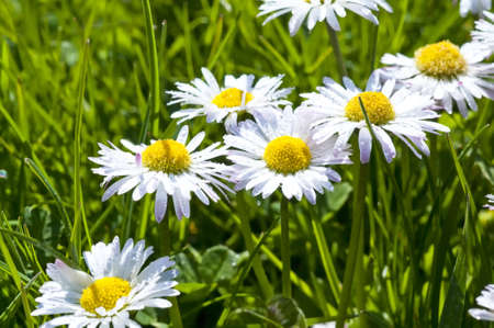 english countryside: Daisy flowers on a meadow in spring, Mecklenburg, Germany.. Macro