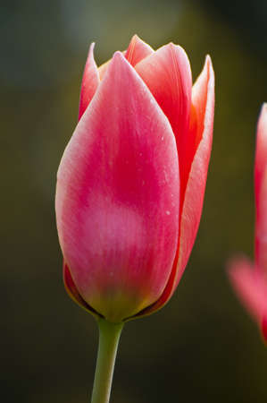 Red Tulips in Spring, close up Stock Photo - 6938524