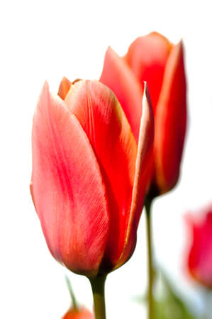 Red Tulips, isolated, white background, space for text Stock Photo