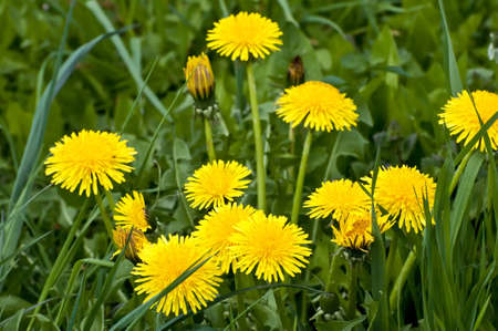Dandelions on a meadow in North Germany